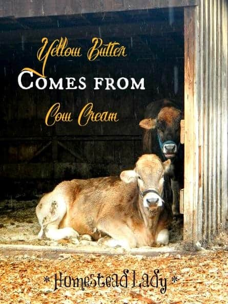 How to Make Butter l Yellow butter comes from cow cream l Homestead Lady