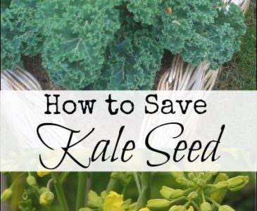 How to Save Kale Seed l Save seed to use next year with these simple steps l Homestead Lady (.com)