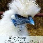 Why Keep Silkie Chickens?