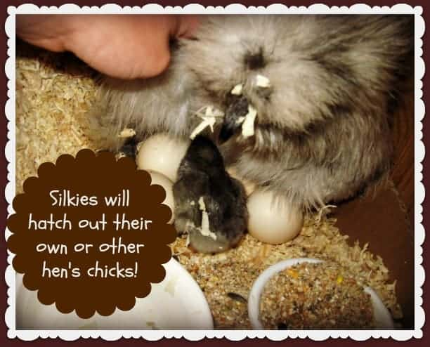 Why Keep Silkie Chickens - www.homesteadlady.com - Silkies will hatch out their own or other hen's chicks