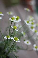 Must have, must grow herbs www.homesteadlady.com Chamomile - by homespun seasonal living