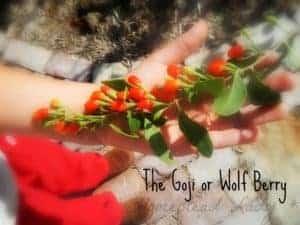 Goji wolf berry