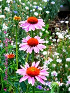 How to plan and plant a medicinal herb garden - echinacea is grown for its roots - www.homesteadlady.com