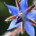 Flowering Herb: Borage