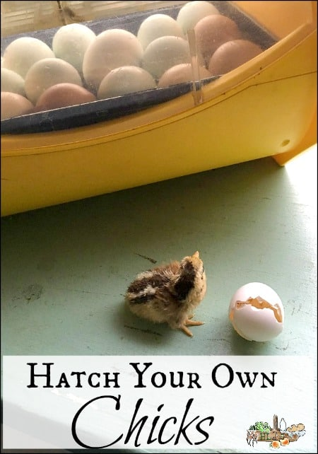 Hatch Your Own Chicks l Control the genetics and health of your flock with an incubator l Homestead Lady.com