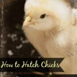 How to Hatch Chicks in an Incubator