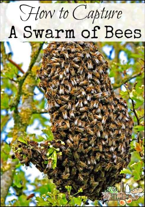 How to Capture a Swarm of Bees l Tips and tricks to get free bees from a local swarm l Homestead Lady (.com)