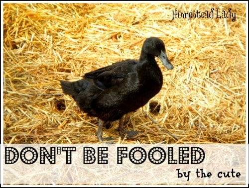 Why Ducks May Not Be Right For You l Backyard Ducks pros and cons l Homestead Lady (.com)