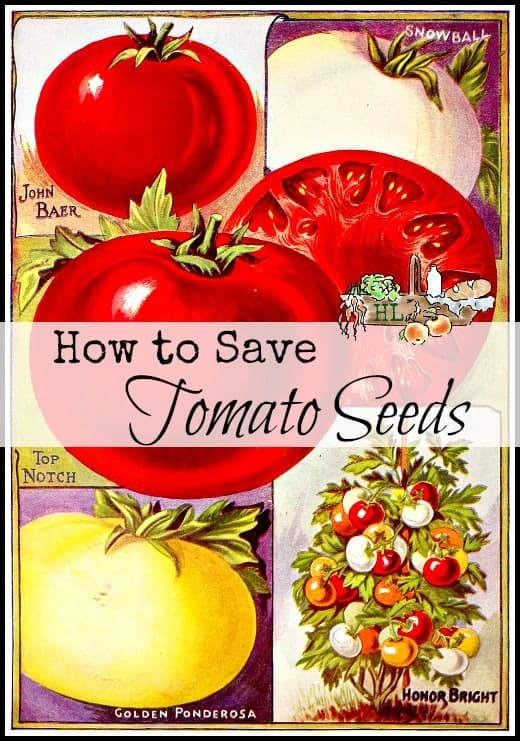 How to Save Tomato Seeds l A few steps and you can grow your own from seed l Homestead Lady (.com)