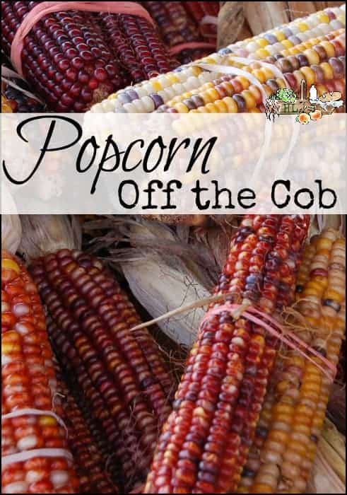 Popcorn off the Cob l How to make popcorn from a dried ear of corn l Homestead Lady (.com)