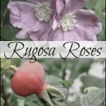Rugosa Roses and Their Hips in Your Garden