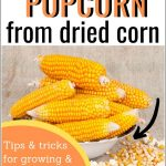 Make Homemade Popcorn from a Dried Ear of Popcorn