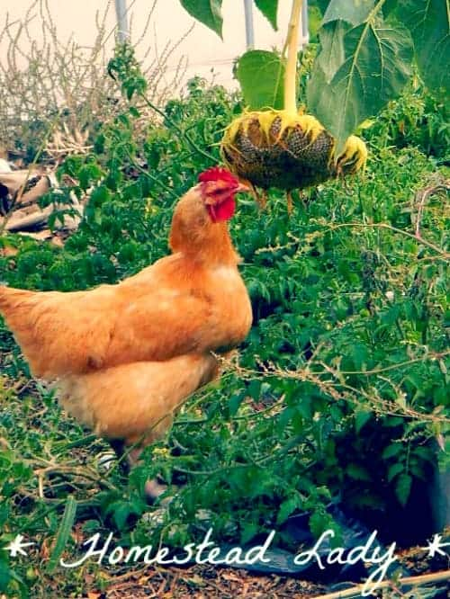 Why I keep chickens - chickens in the garden l Homestead Lady