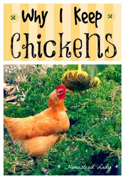 Why I keep chickens - its not complicated l Homestead Lady