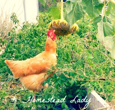 Why I keep chickens - they make me laugh!  Homestead Lady