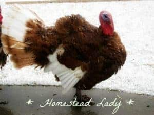 Bourbon Red by Homestead Lady
