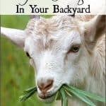 Goat Forage in Your Backyard