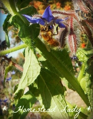 Goat forage in your backyard - Borage makes an excellant forage food for your goats - www.homesteadlady.com