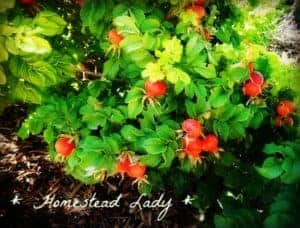 Goat forage in your backyard - Rugosa roses - by www.homesteadlady.com