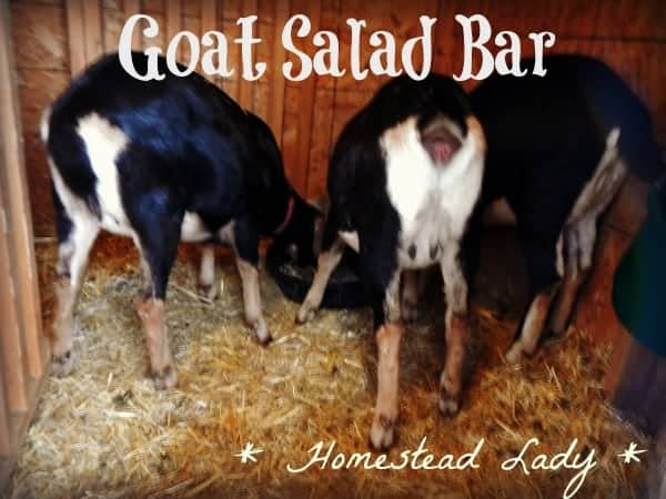 Goat forage in your backyard by www.homesteadlady.com
