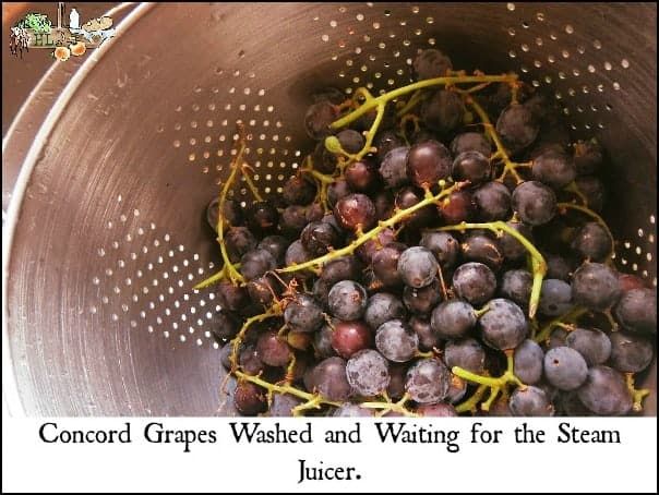 Concord grapes make delicious homemade grape juice l Healthy snack for kids l Homestead lady.com