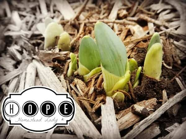 Spring is coming, the garden is waiting - HOPE - www.homesteadlady.com