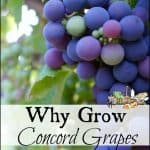 Why Concord Grapes?