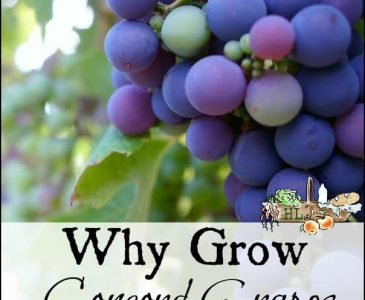 Why grow Concord grapes l Easily adaptable table grape l Great for juice and jelly l Homestead Lady.org