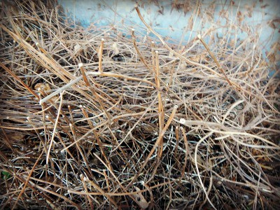 Spring thaw on the homestead - mint stalks from last year - www.homesteadlady.com