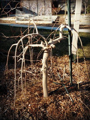 Spring thaw on the homestead - the Weeping Mulberry - www.homesteadlady.com