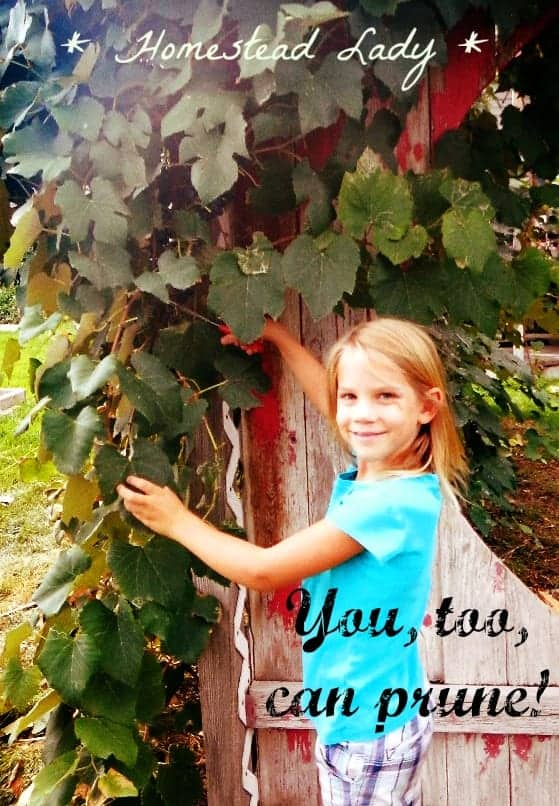 Why concord grapes www.homesteadlady.com - Pruning grapes is so easy a child can do it - so can you!