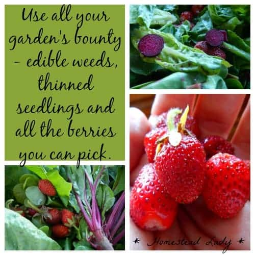 Strawberry salad with strawberry dressing - I gathered lots of edible weeds and thinned beet seedlings as well ripe strawberries. www.homesteadlady.com