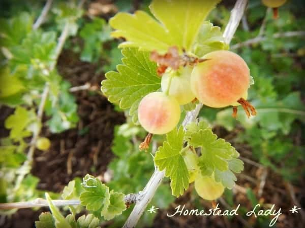 Five Fruits for the Children's Garden - everybody loves fruit! Here are a few ideas of how to grow fruit with your kids - Gooseberries - www.homesteadlady.com