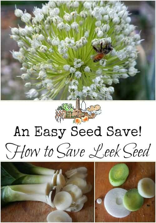 How to Save Leek Seeds l A great seed for newbie seed savers - easy! l Homestead Lady (.com)