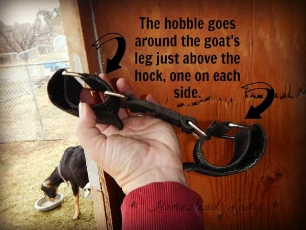 How to train a goat to a milk stand - www.homesteadlady.com - how to use the hobbles