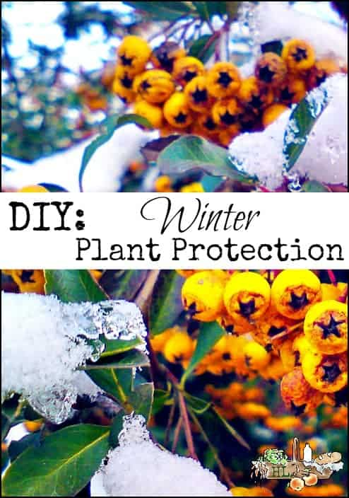 DIY Winter Plant Protection for Herbs and Plants l Let the colonials teach you a gardening trick l Homestead Lady (.com)