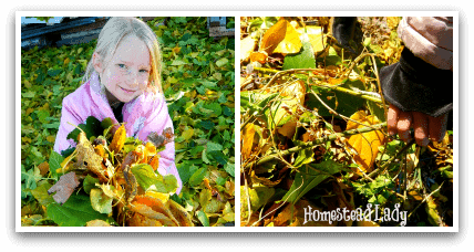 DIY Winter Plant Protection l Fall leaves are free l Homestead Lady (.com)