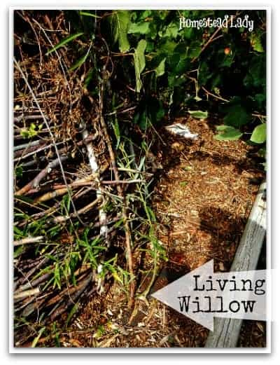 DIY Willow Playhouse l If you plant a few willow sticks they will sprout and grow l Homestead Lady (.com)
