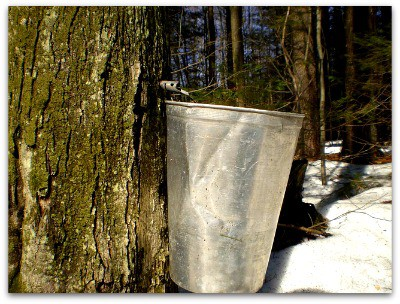 Maple Trees Make Syrup l Many choices for maple tapping tools l Homestead Lady (.com)