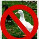 Why Ducks May Not Be Right For You