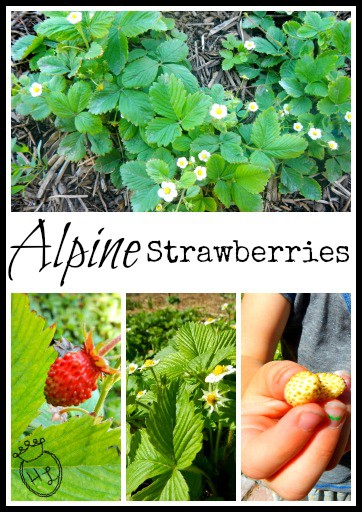 Ground Cover Plants for Pollinators l Alpine Strawberries l Homestead Lady (.com)