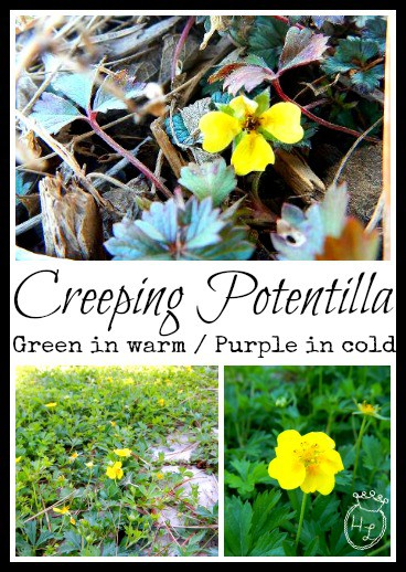 Ground Cover Plants for Pollinators l Creeping Potentilla l Homestead Lady (.com)