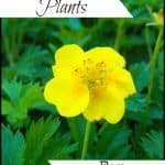 Ground Cover Plants for Pollinators