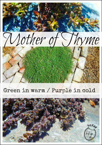 Ground Cover Plants for Pollinators l Mother of Thyme l Homestead Lady (.com)