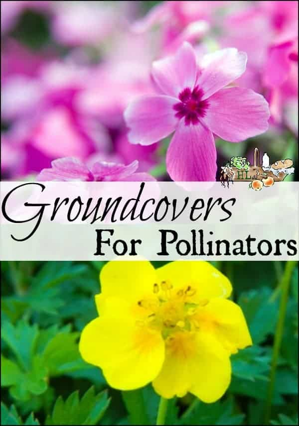 Ground Cover Plants for Pollinators l Plant these 4 ground covers for the bees l Homestead Lady.com