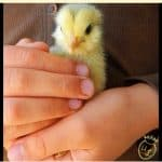 Diatomaceous Earth: A Must for Chick Care