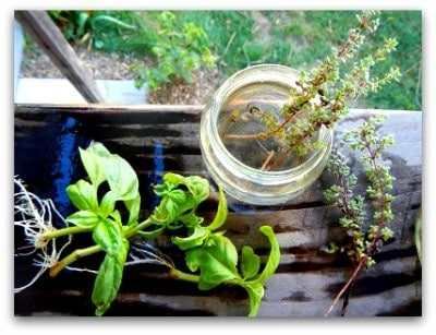 Herbal Plants Basil and It's Benefits l Homestead Lady (.com)