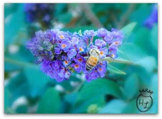 Start a Butterfly Garden with Butterfly Bush l Pollinator Attracting Plant l Homestead Lady