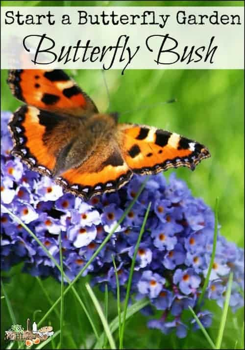 Start a Butterfly Garden with Butterfly Bush l Combine flowering perennials to attract butterflies and other pollinators l Homestead Lady.com