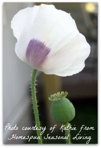 Perennial Flower Harvest l Bread Seed Poppies l Homestead Lady (.com)